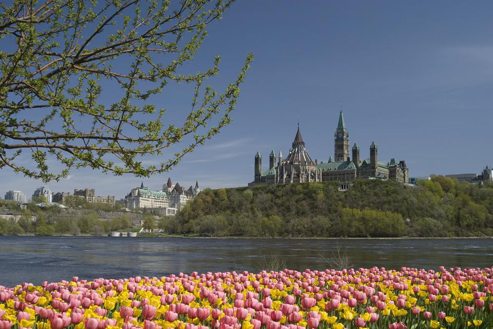 Field of tulips in Ottawa with the Parliament Buildings across the water
