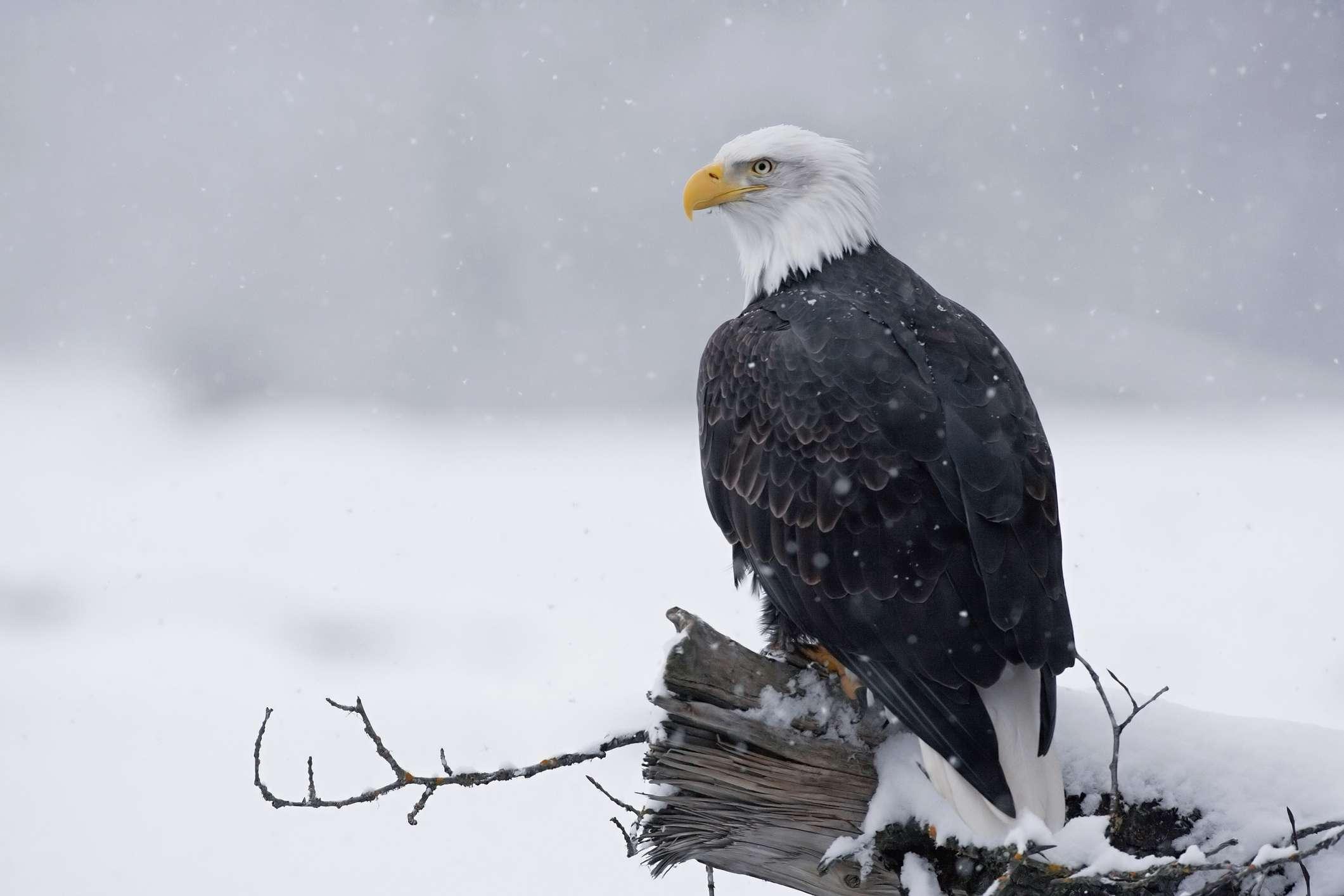 Águila calva en el río Chilkat