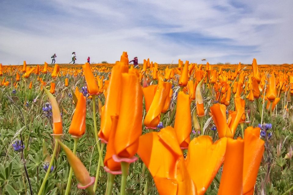 Amapolas de California en Antelope Valley
