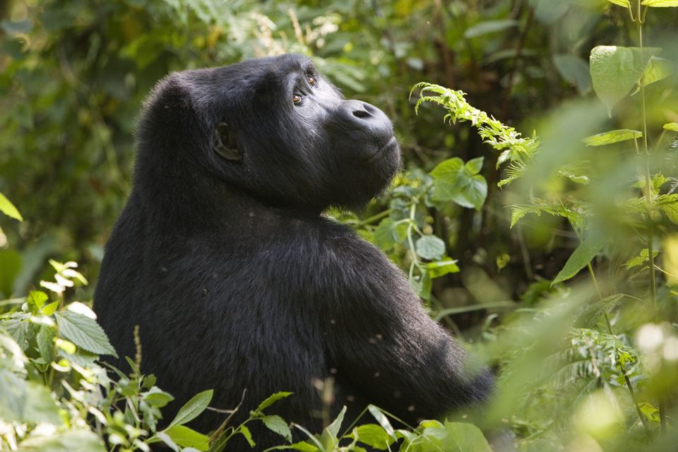 Mountain gorillas in Bwindi Impenetrable Forest National Park
