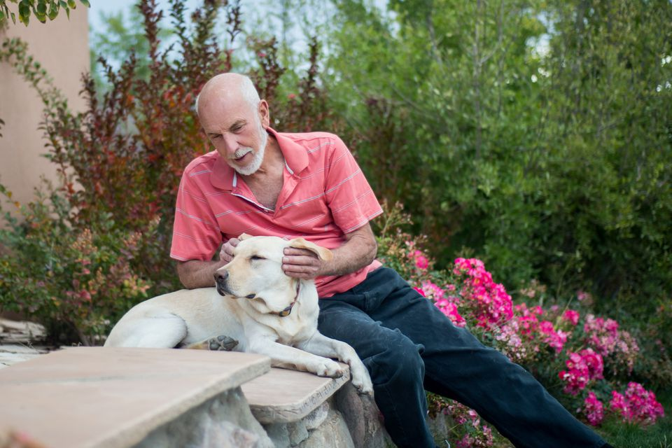 Senior Man with His Service Dog, Yellow Labrador Retriever
