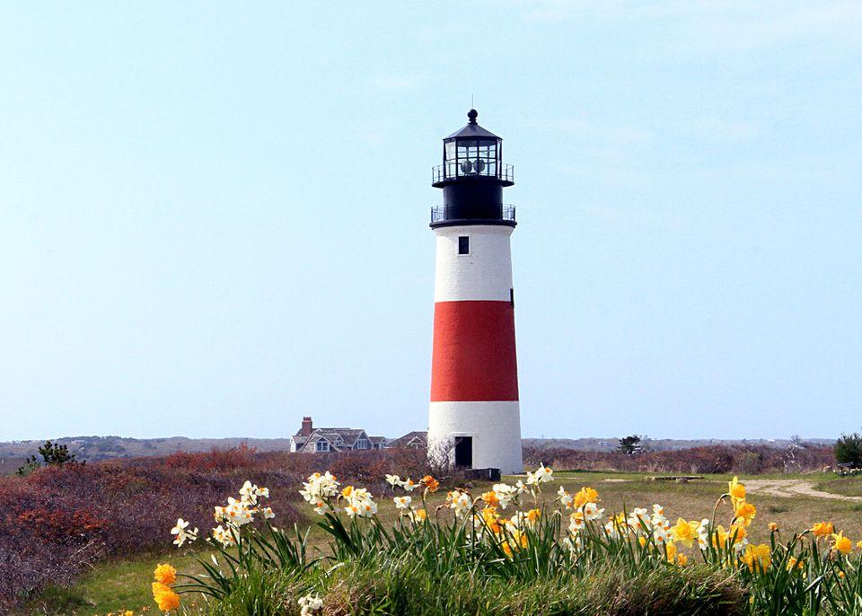 April Daffodils on New England Island of Nantucket