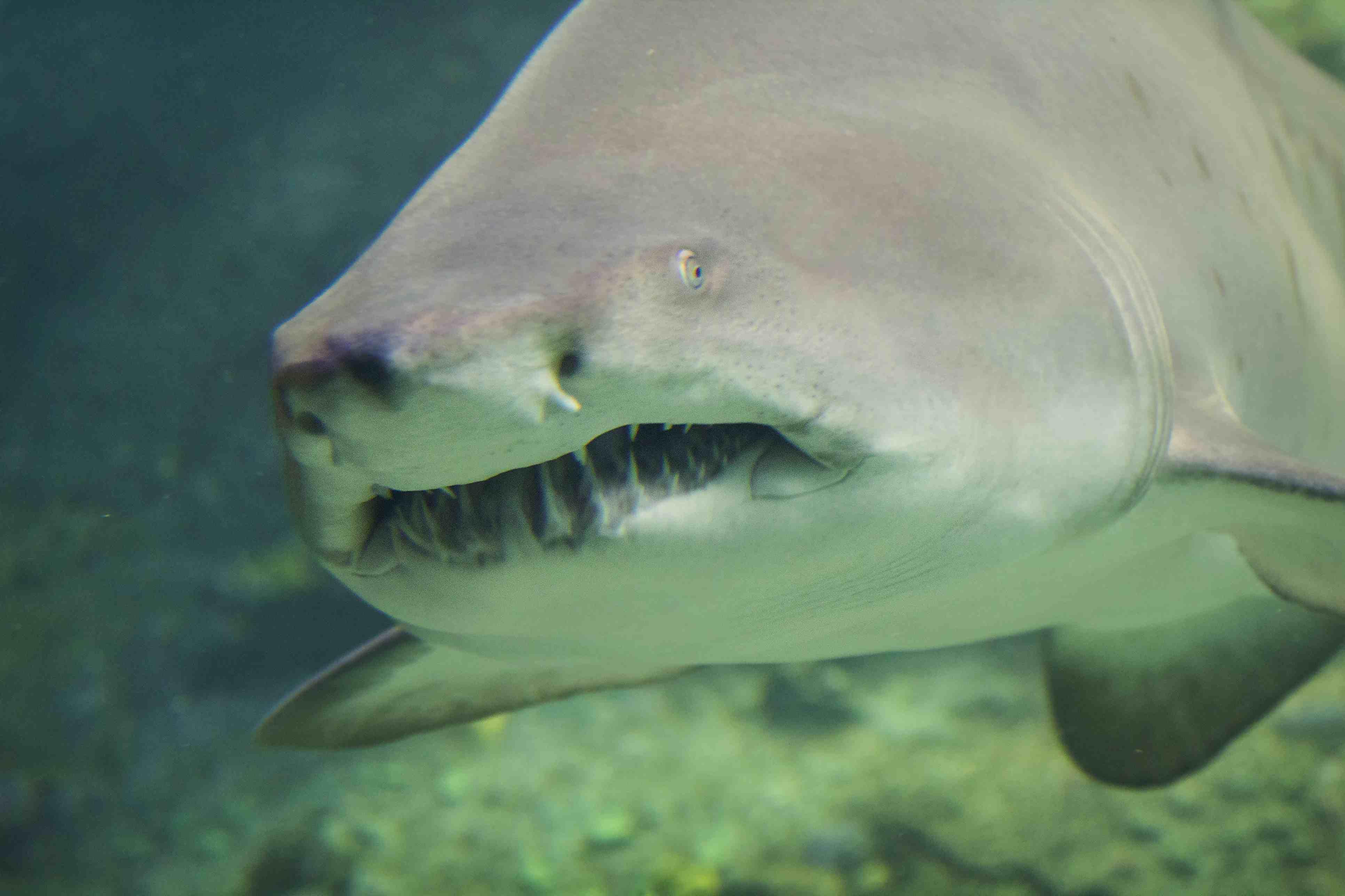 Shark at aquarium in North Carolina