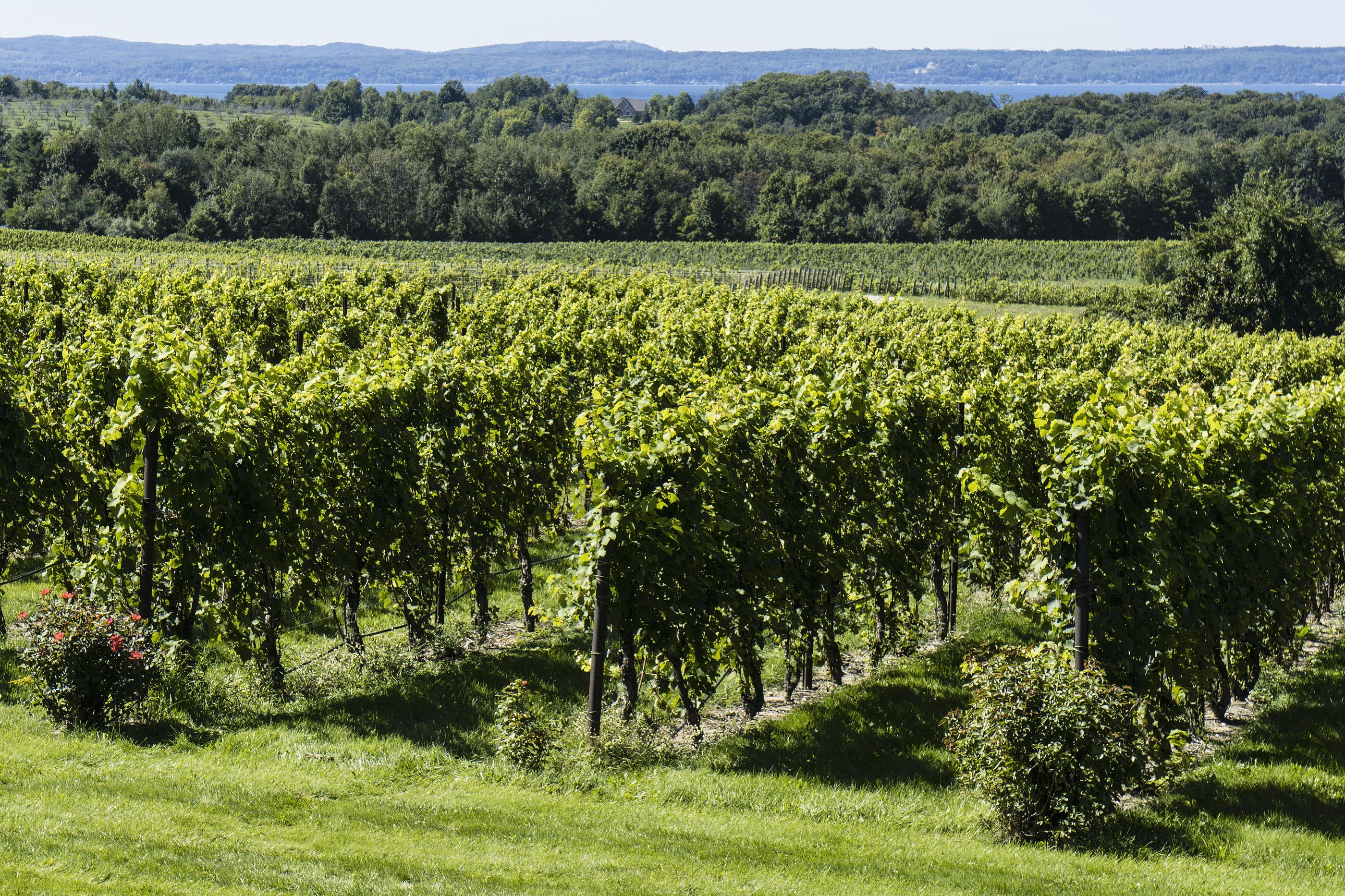 Grape vines in a vineyard on the Old Mission Peninsula outside of Traverse City, Michigan with Grand Traverse Bay in the background.