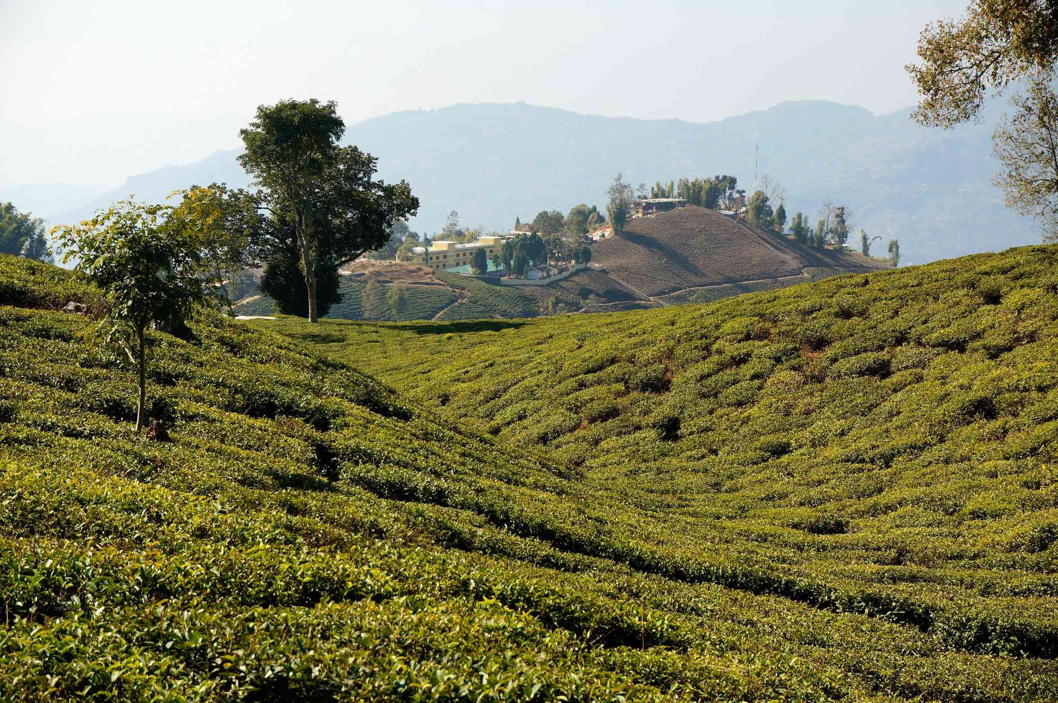 Tea fields of Ilam