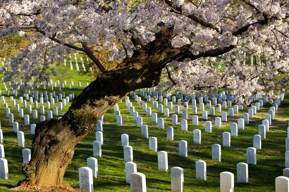 Blossoming cherry trees stand guard over tombstones at Arlington National Cemetery near Washington, DC