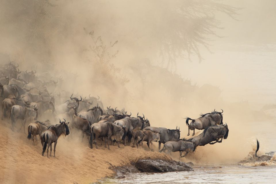 Wildebeest cross a river during East Africa's Great Migration