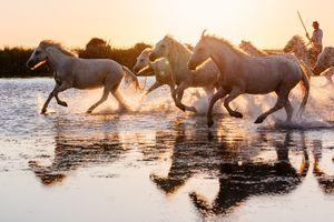 Wild White Horses of Camargue running in water during idyllic sunset.