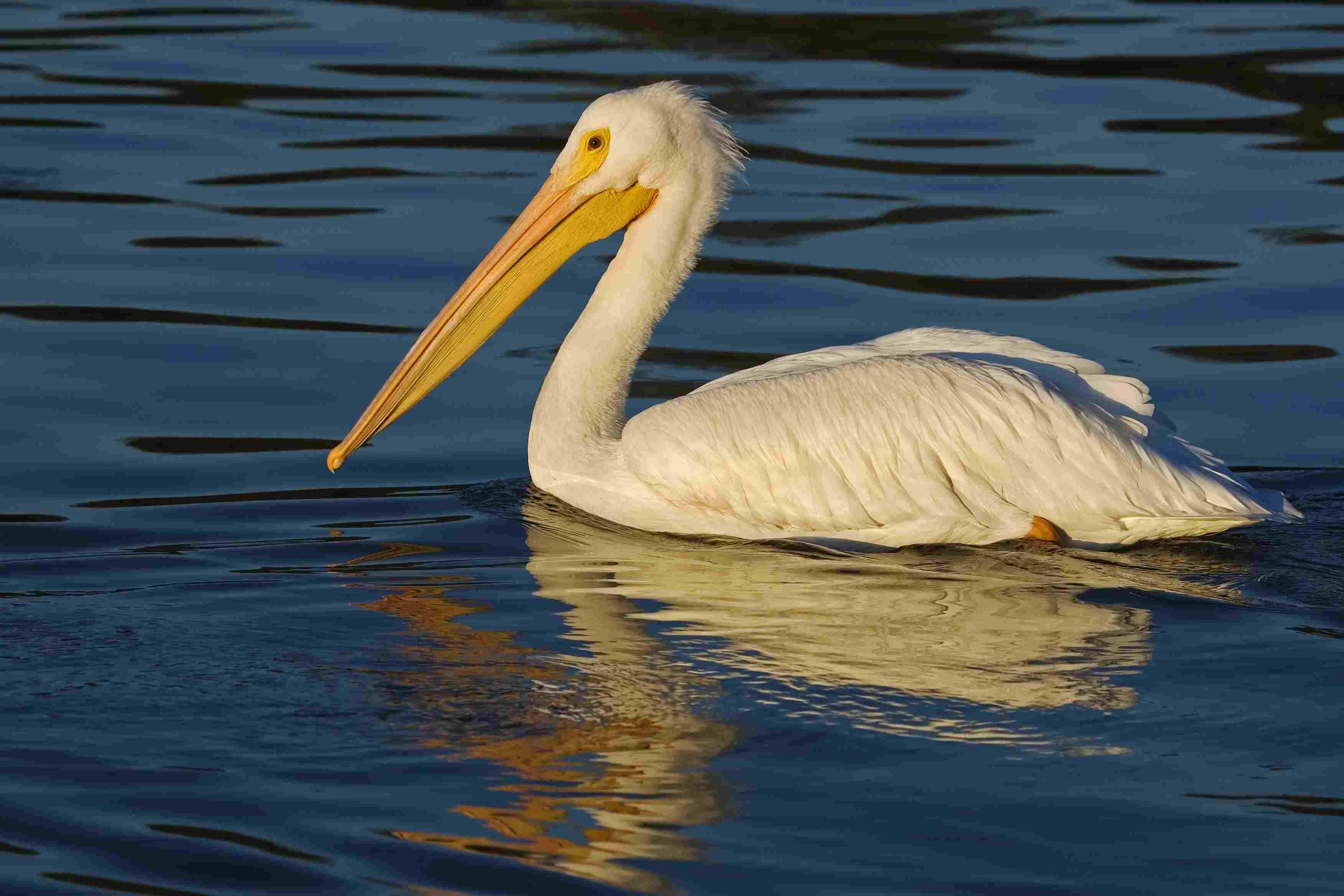 White Pelican at White Rock Lake