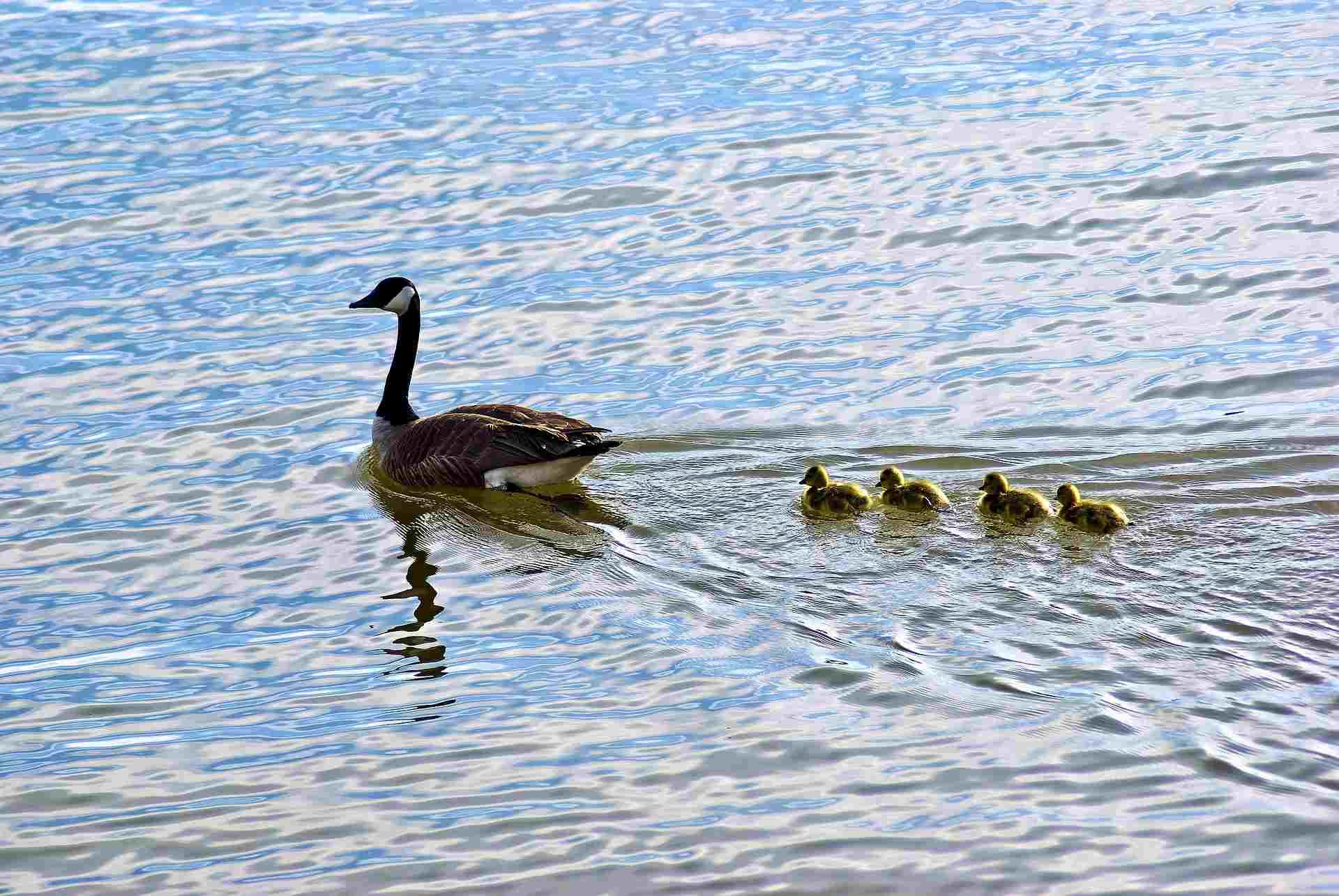 Geese swimming on Lake Dardanelle