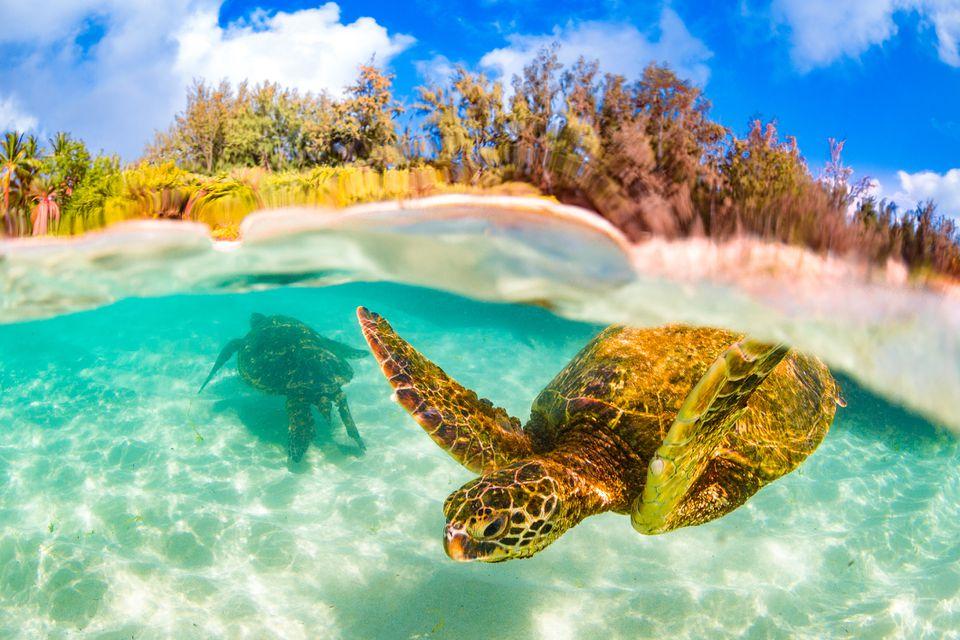 Tortugas en el agua de la costa hawaiana