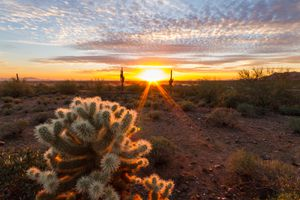 Teddy Bear Cholla Cactus (Cylindropuntia bigelovii) at Sunset