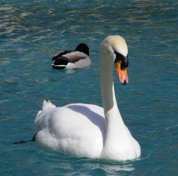 Swan in Scottsdale