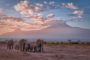 Elephants walk in front of Mount Kilimanjaro, Amboseli National Park