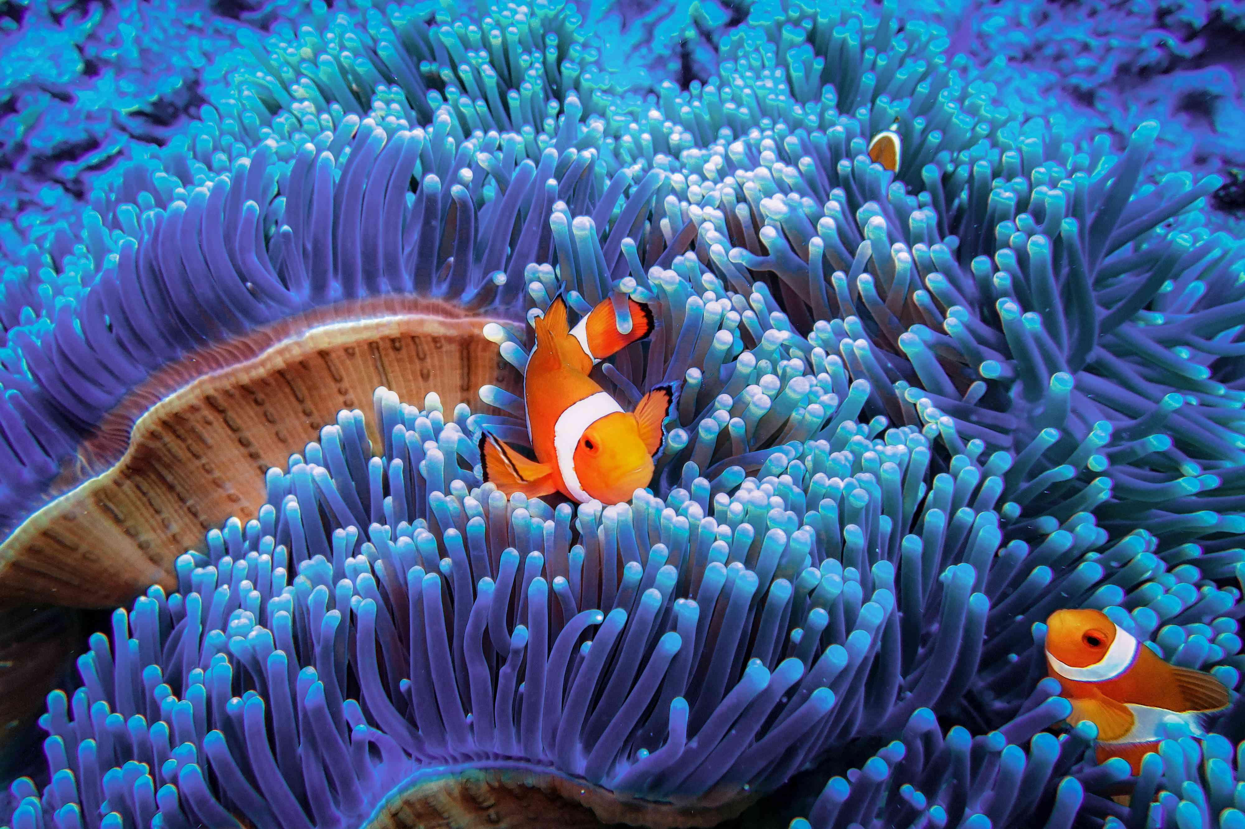 Clownfish in a blue anemone