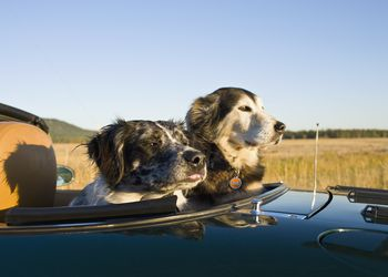 Two dogs sitting on rear seats of convertible car during road trip