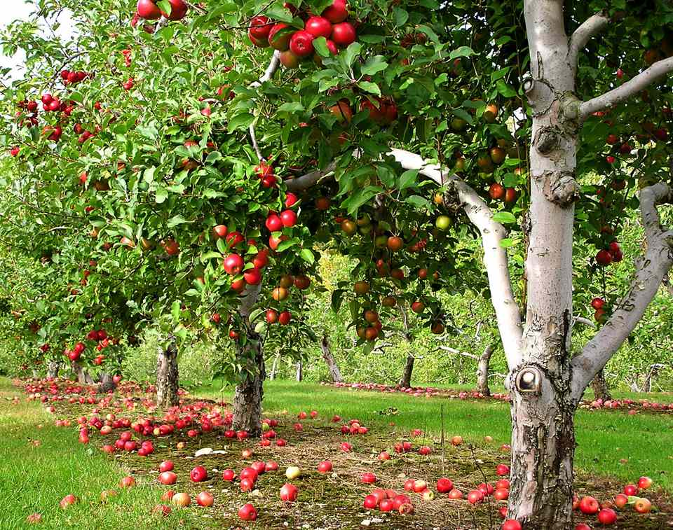 Row of apple trees with apples on the ground