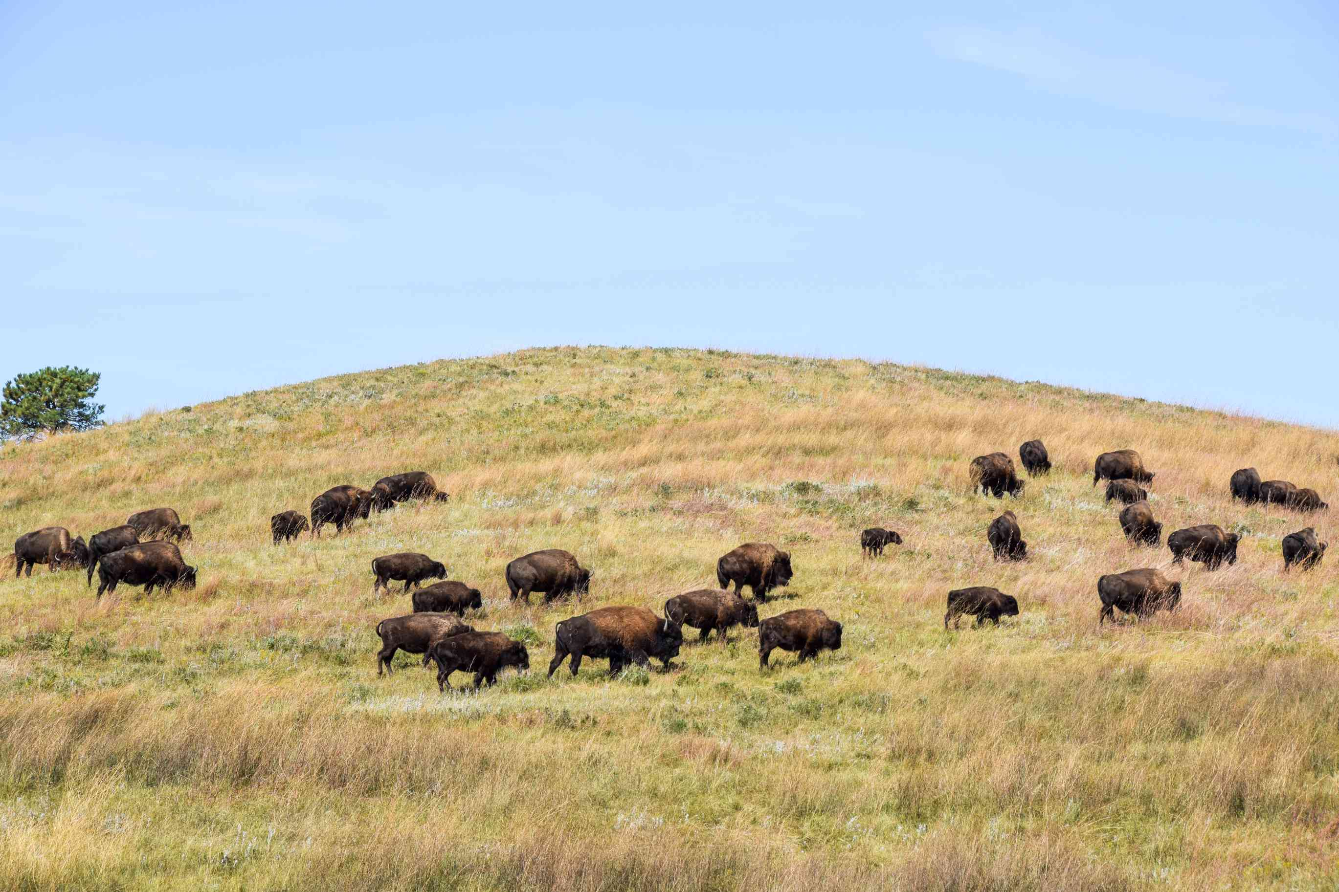 Buffalo in Custer State Park