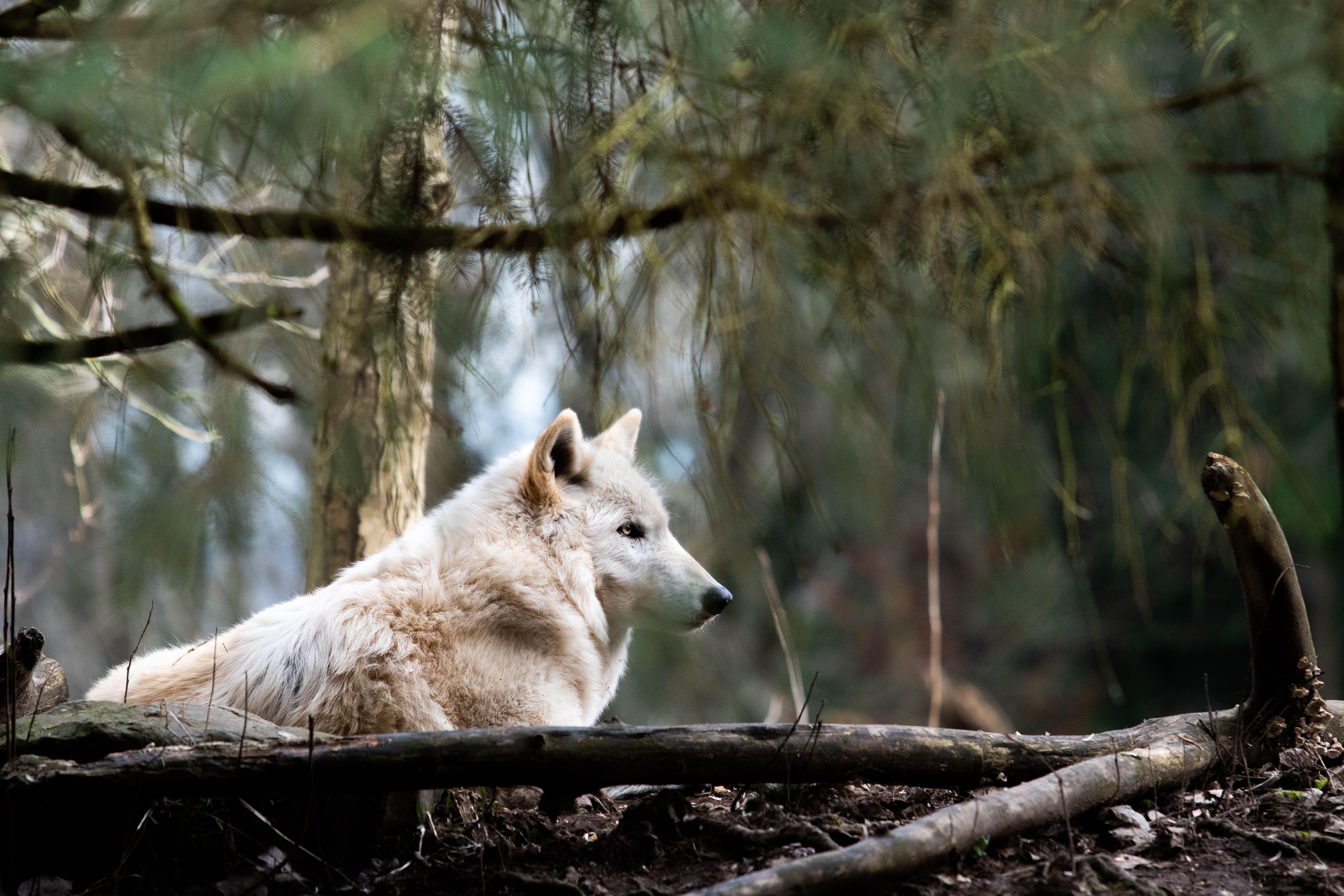 lobo blanco en el desierto