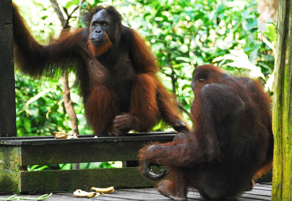 Two orangutans in Sepilok