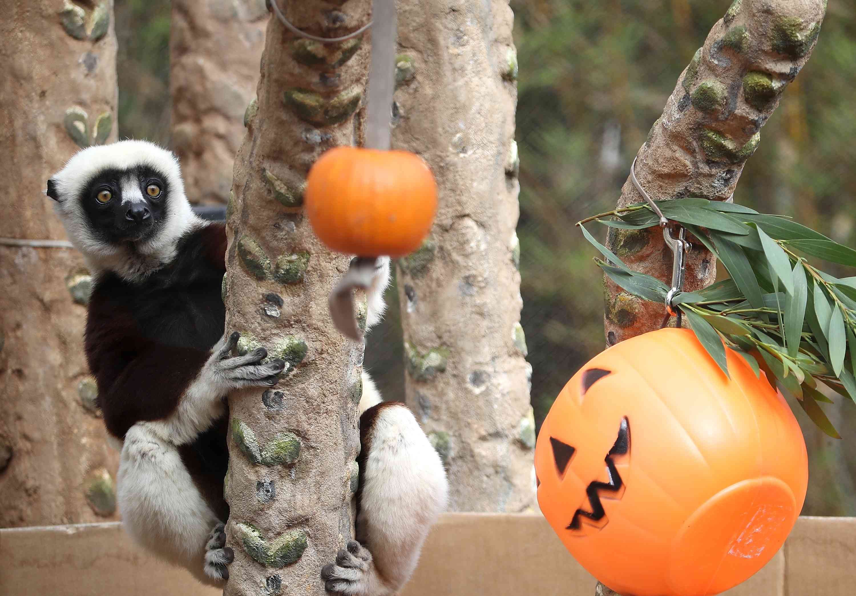 Lemur at zoo with Halloween decorations