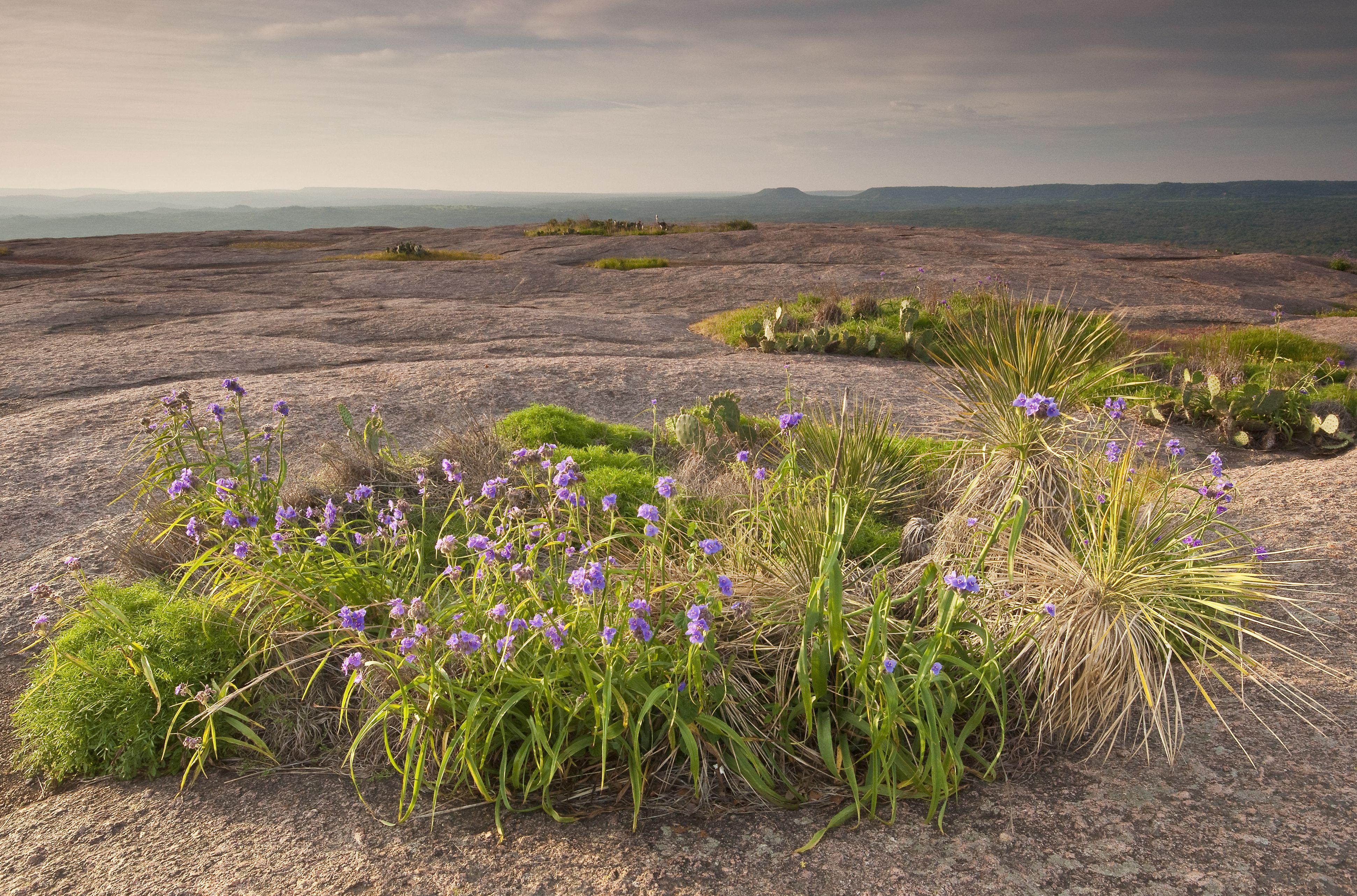 Flores de Spiderwort en la cima de Enchanted Rock, Texas