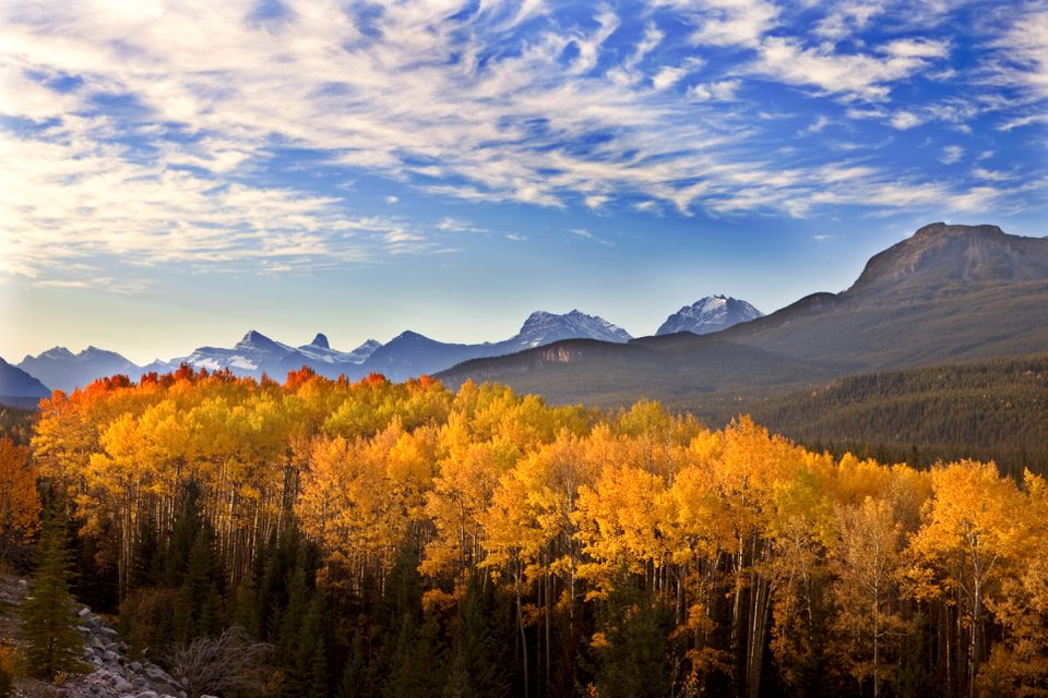 Aspen Grove in the Morning, Northern Jasper National Park, Alberta, Canada