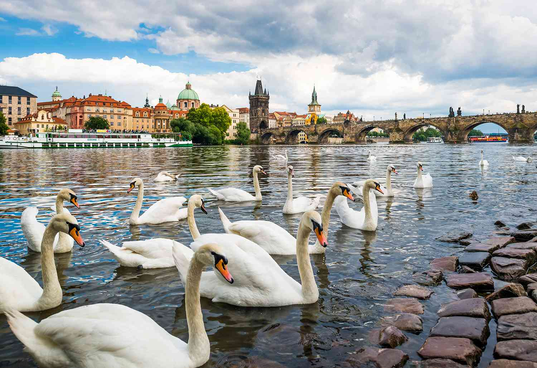 Cisnes en el río Vltava con el Puente de Carlos en el fondo