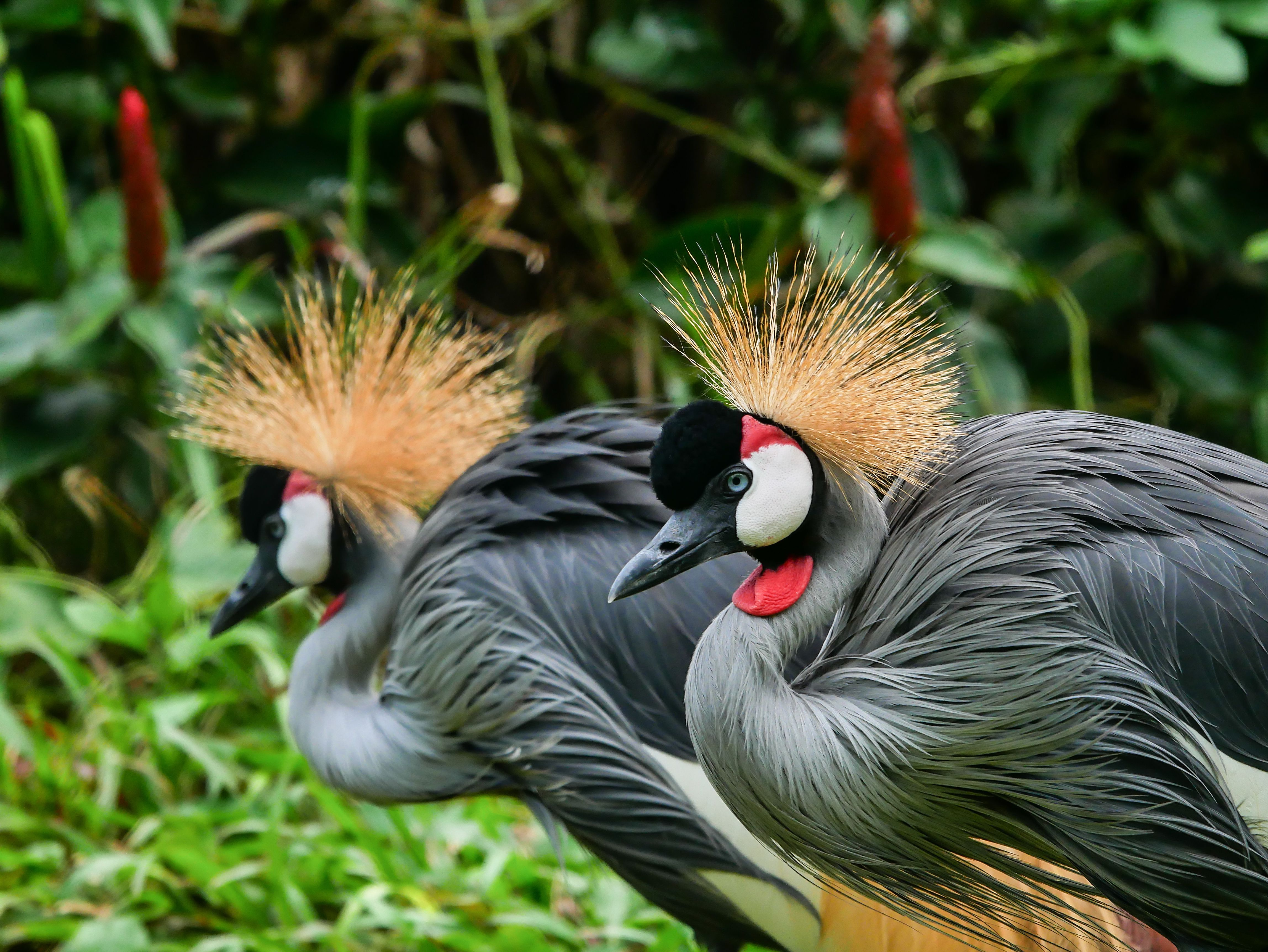 Close-Up Of Grey Crowned Cranes Against Blurred Background