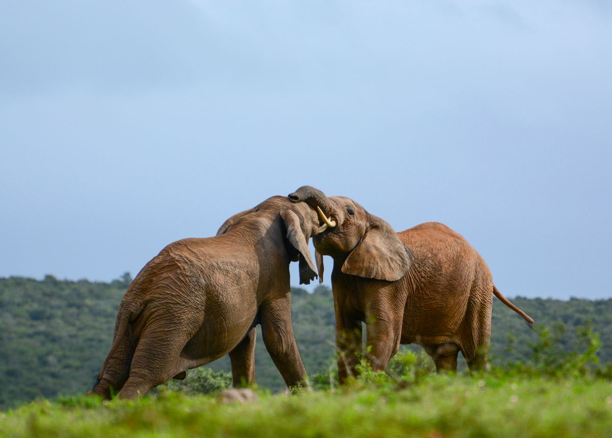 Elephants play-fighting at Addo Elephant National Park