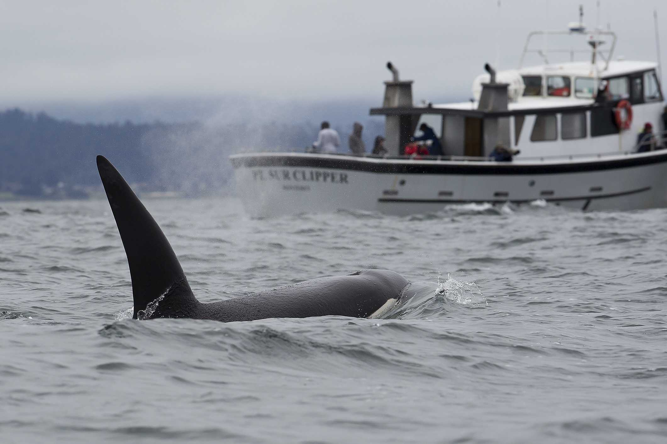 A killer whale swims in Monterey Bay, California.