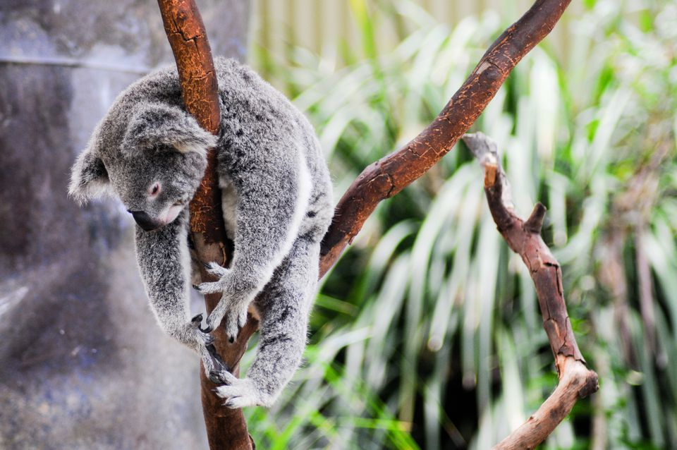 Lazy koala hanging around in tree in Sydney