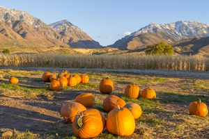 Pumpkin Patch in front of mountains in Utah