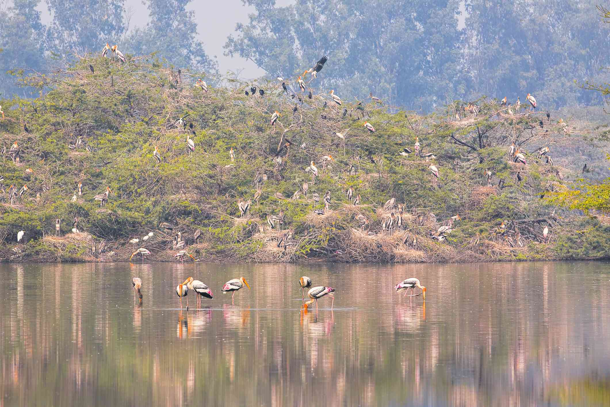 Painted Storks nesting at Sultanpur Bird Sanctuary