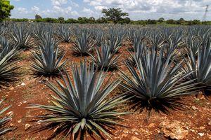 Agave plantation. Growing mezcal.
