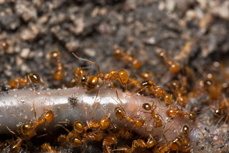 Close-up of fire ants