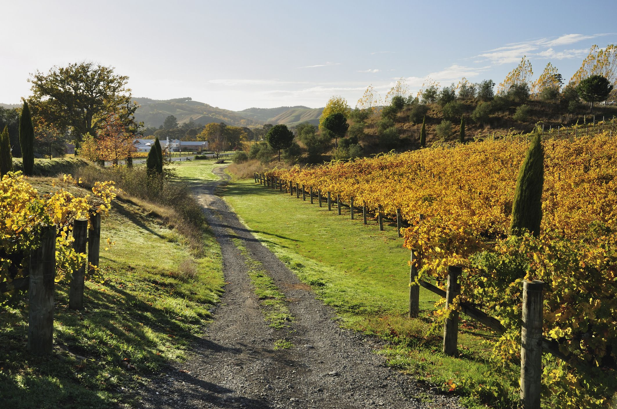 Vineyard, Havelock North, Hawke's Bay, North Island, New Zealand, Pacific