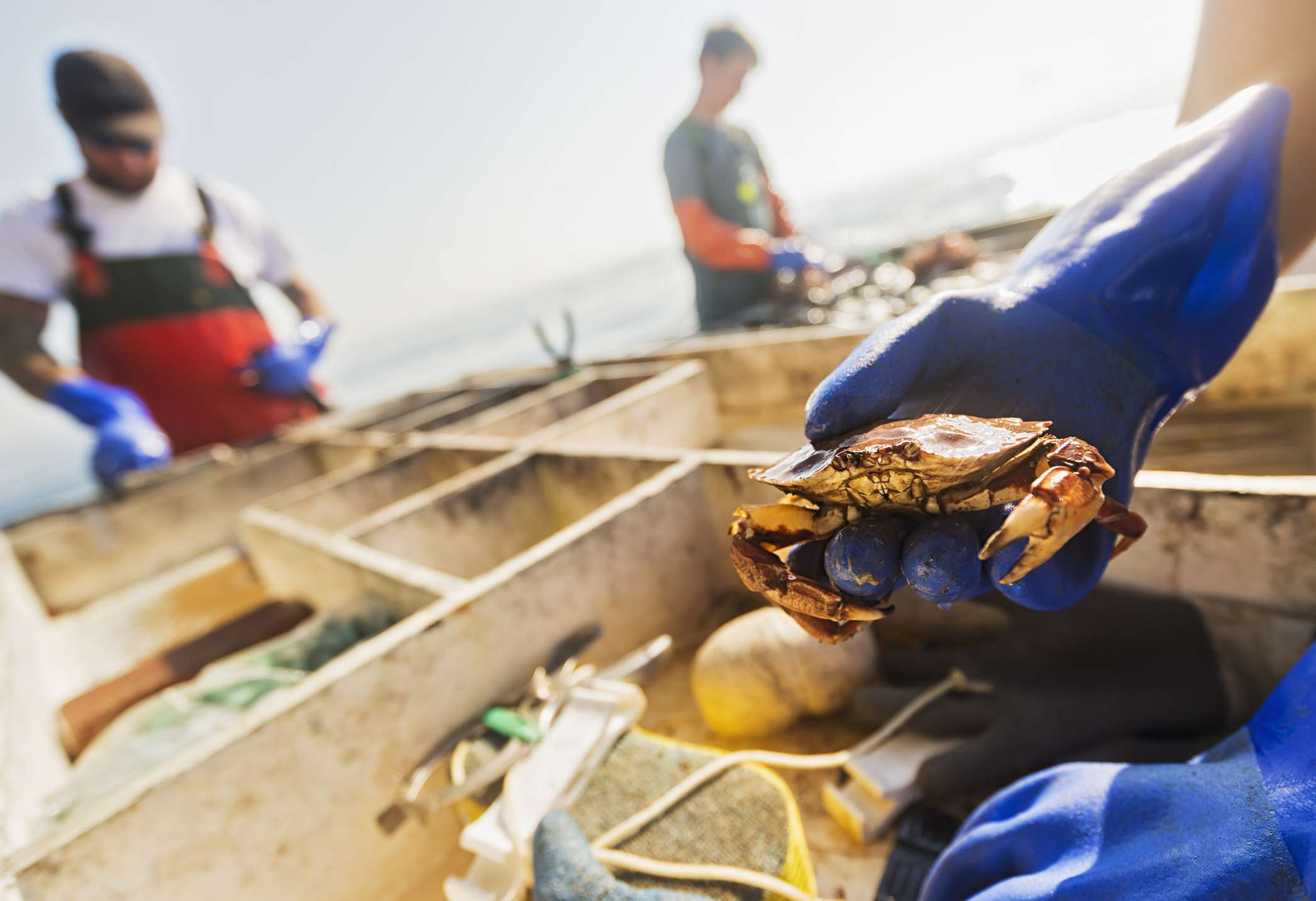 Gloved hand holding maine crab over a large wooden pallet