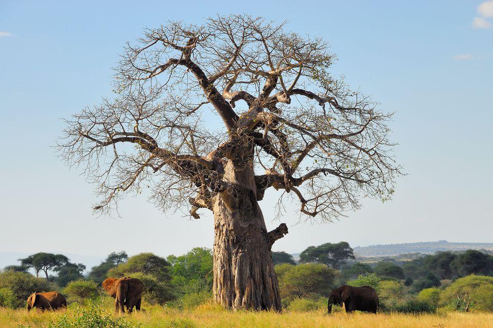 Datos curiosos sobre los elefantes africanos del árbol baobab