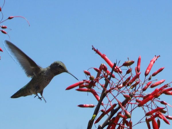 Hummingbird at Desert Botanical Garden