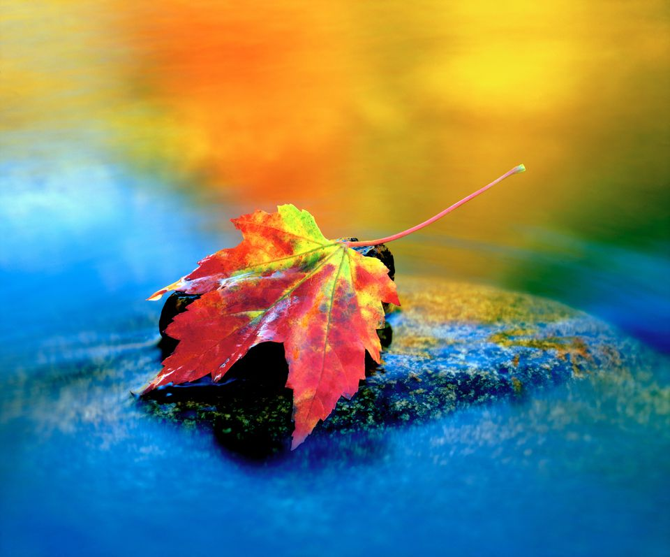 Fotografía de Fall Maple Leaf en Swift River, New Hampshire