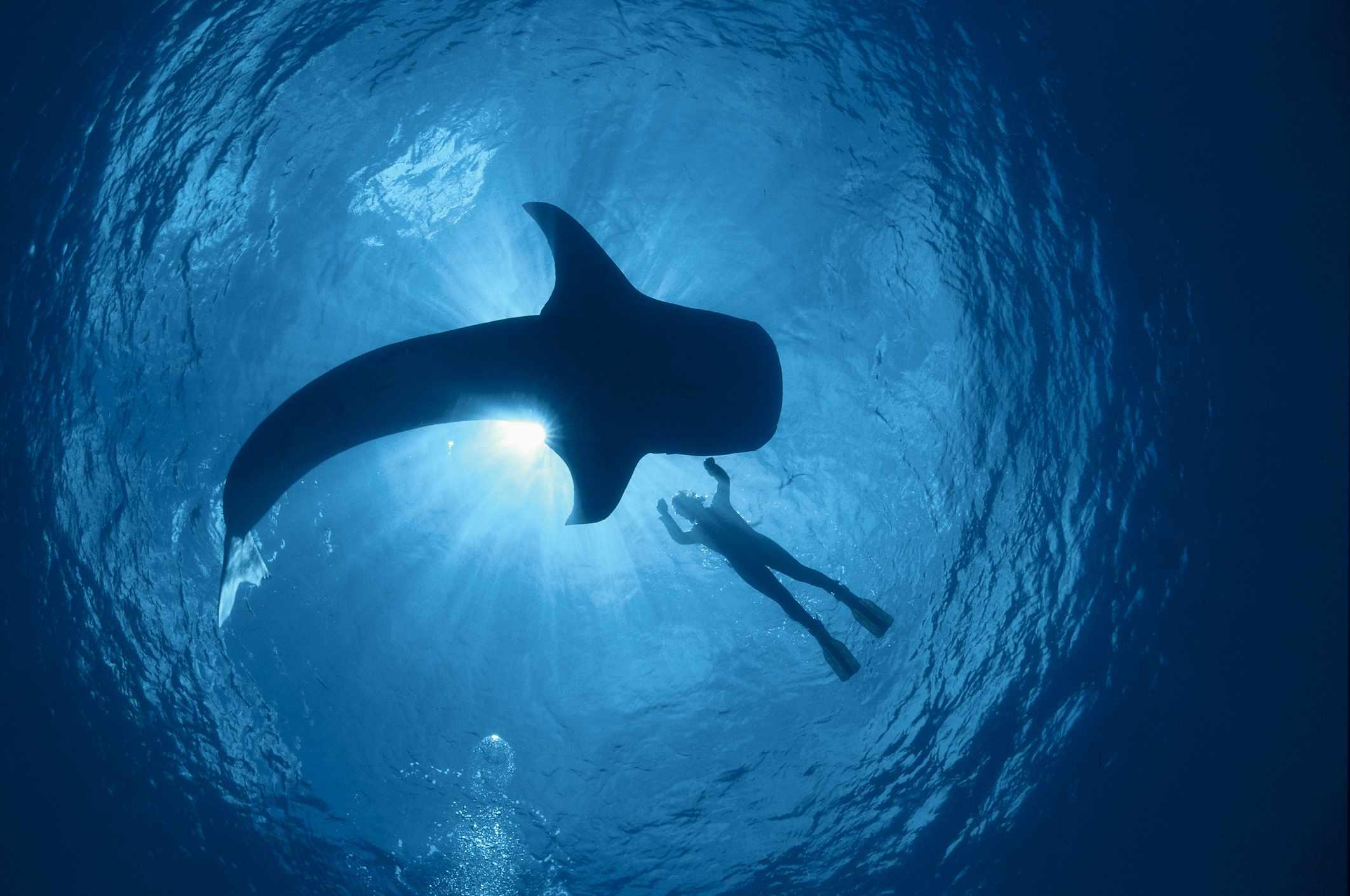 Snorkeler swims alongside a whale shark