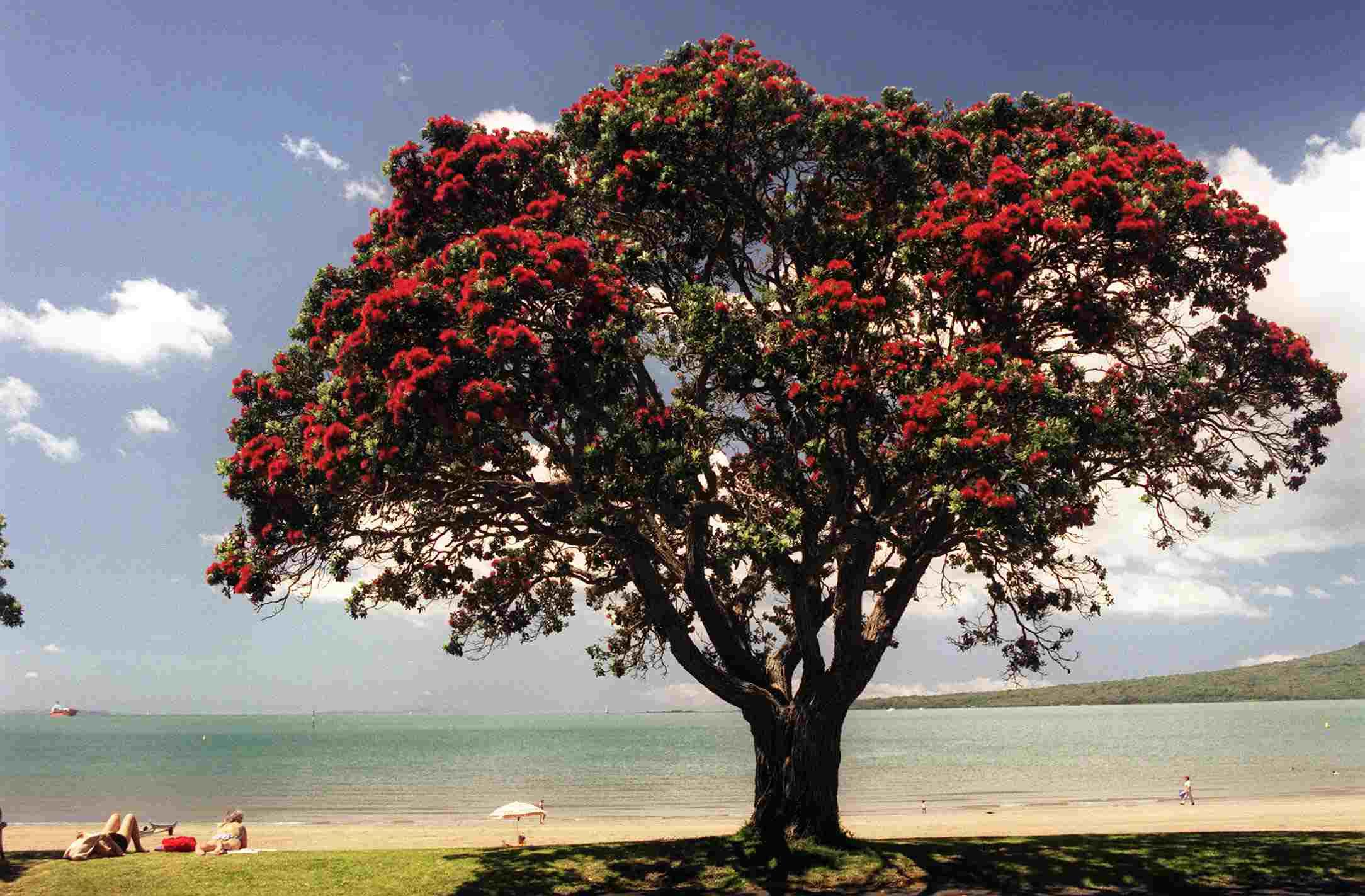 Árbol Pohutukawa en flor en el Estrecho Playa de Auc