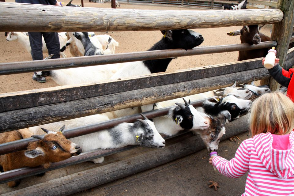 Little girl feeding baby goats at Grant's Farm