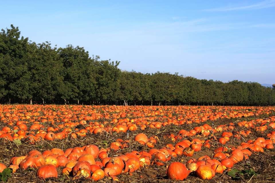 Pumpkin patch in Sacramento