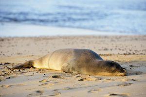Hawaiian monk seal on Kee Beach, Kauai