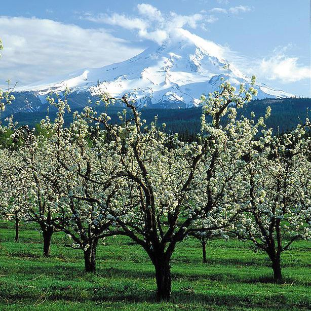 Mt. Hood from Upper Hood River Valley Orchards