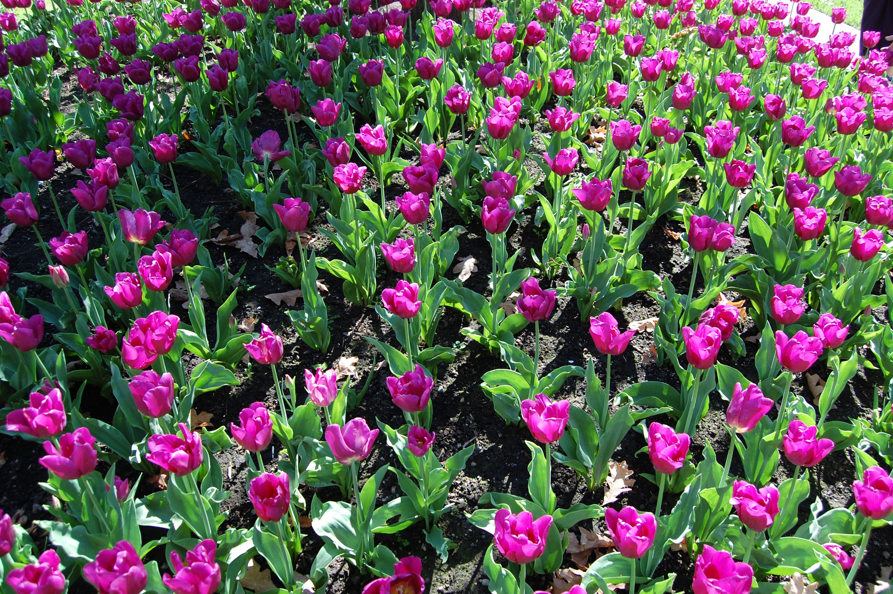 Tulips at Bush's Pasture Park