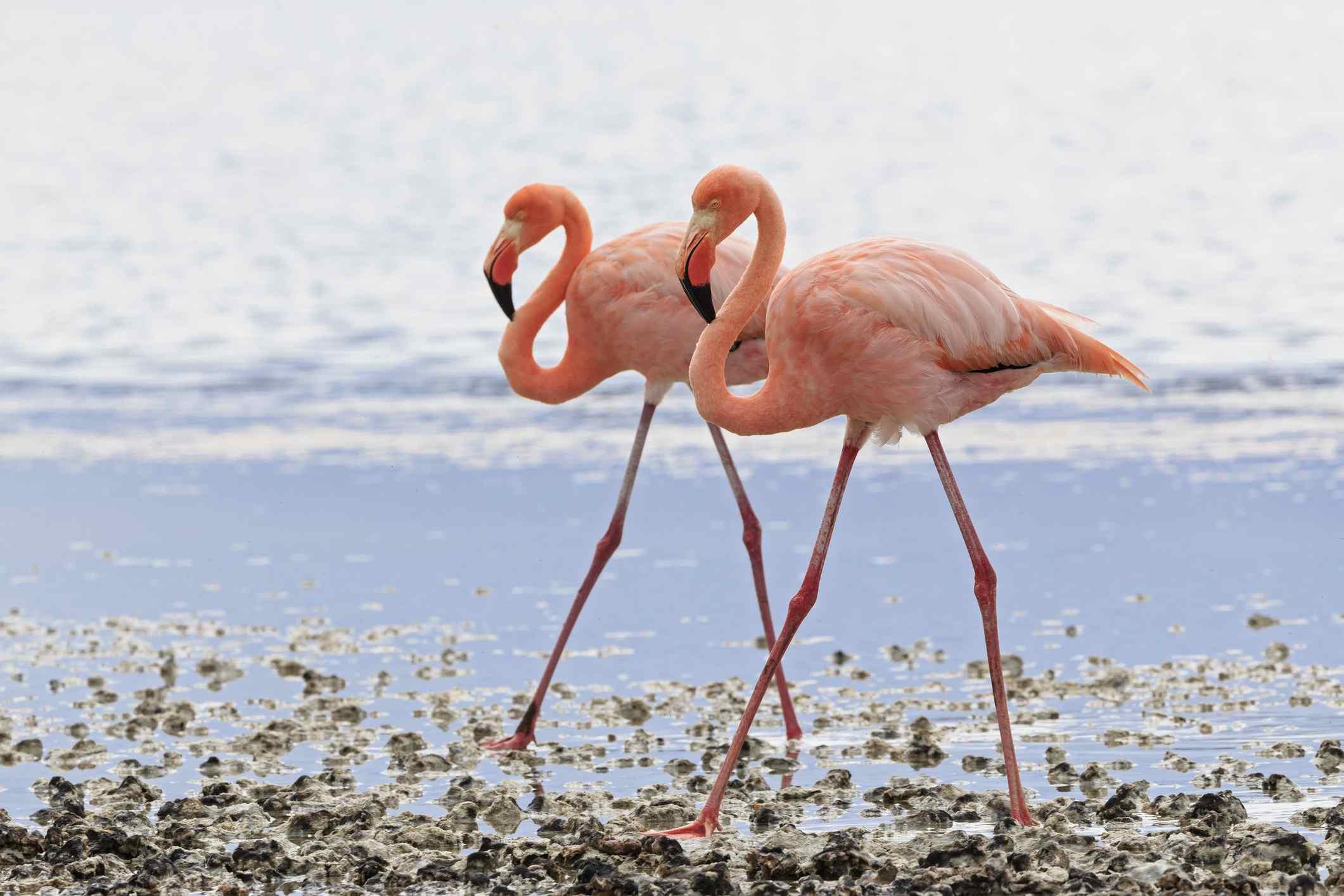 Flamencos de Galápagos