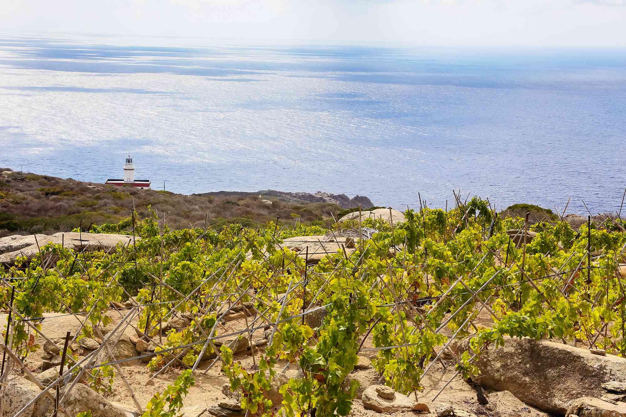 Ansonaco grapes on Isola di Giglio